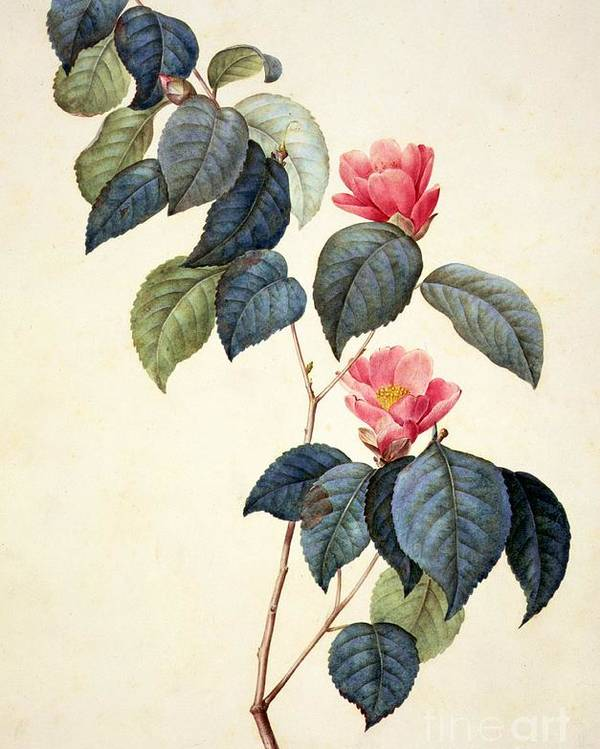 Still Life Poster featuring the painting Camellia Japonica by Pierre Joseph Redoute