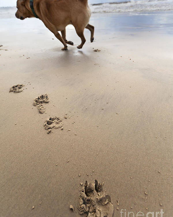 Dog Poster featuring the photograph Canine Beach Jogging by Eldad Carin