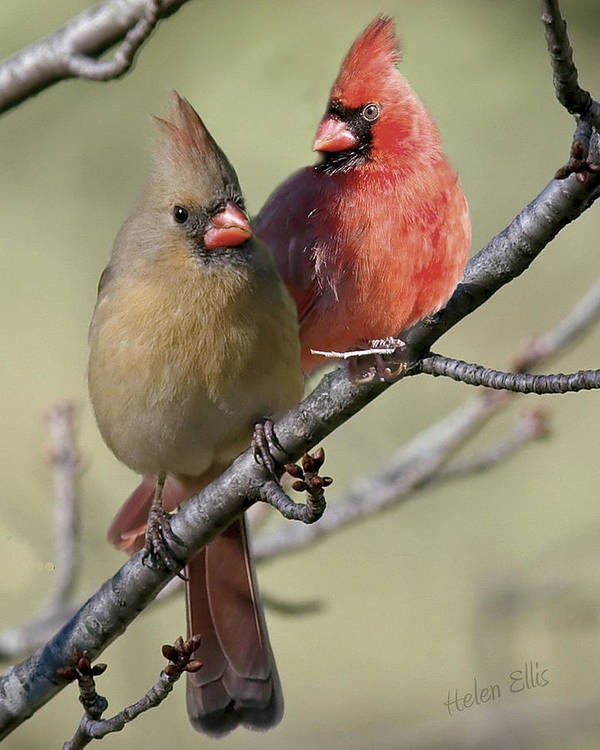 Nature Poster featuring the photograph Cardinal Couple by Helen Ellis