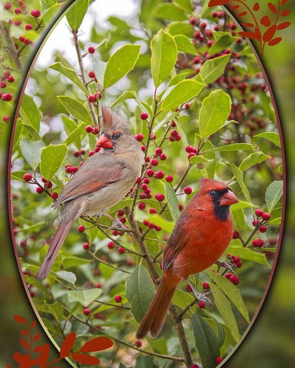 Cardinals Poster featuring the photograph Cardinals In Holly by Bonnie Barry