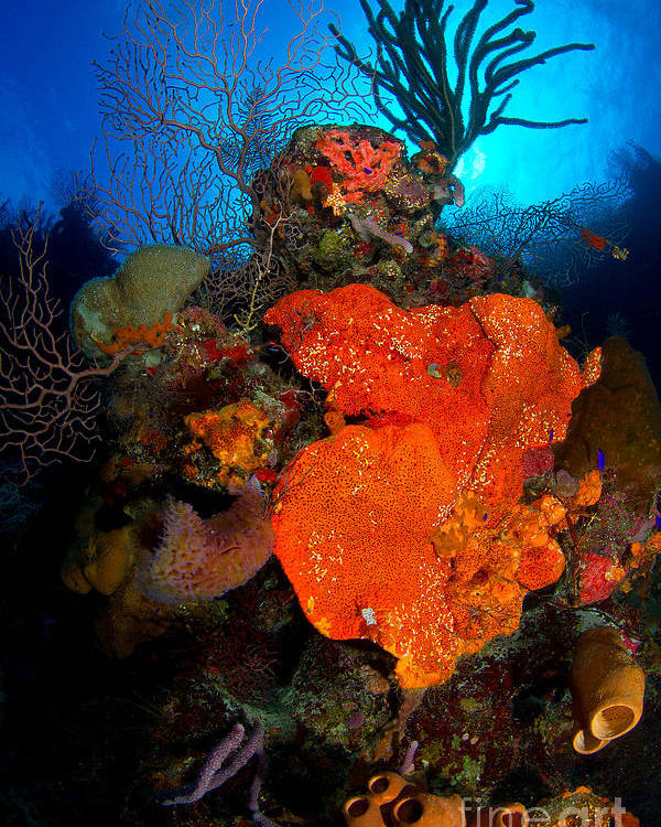 Orange Elephant Ear Sponge Poster featuring the photograph Caribbean Color by Aaron Whittemore
