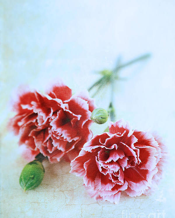 Colour Poster featuring the photograph Carnations by Stephanie Frey