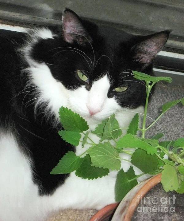 Cat Poster featuring the photograph Catnip by Beth Williams