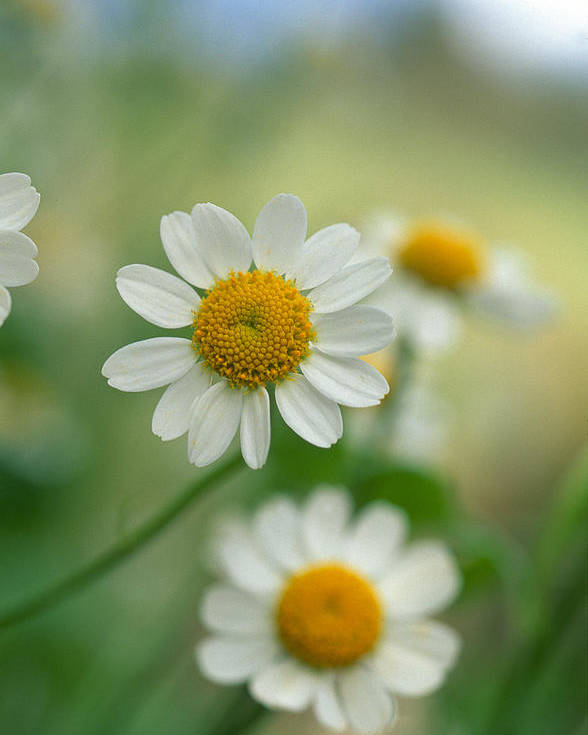Floral Poster featuring the photograph Chamomile by Kathy Yates