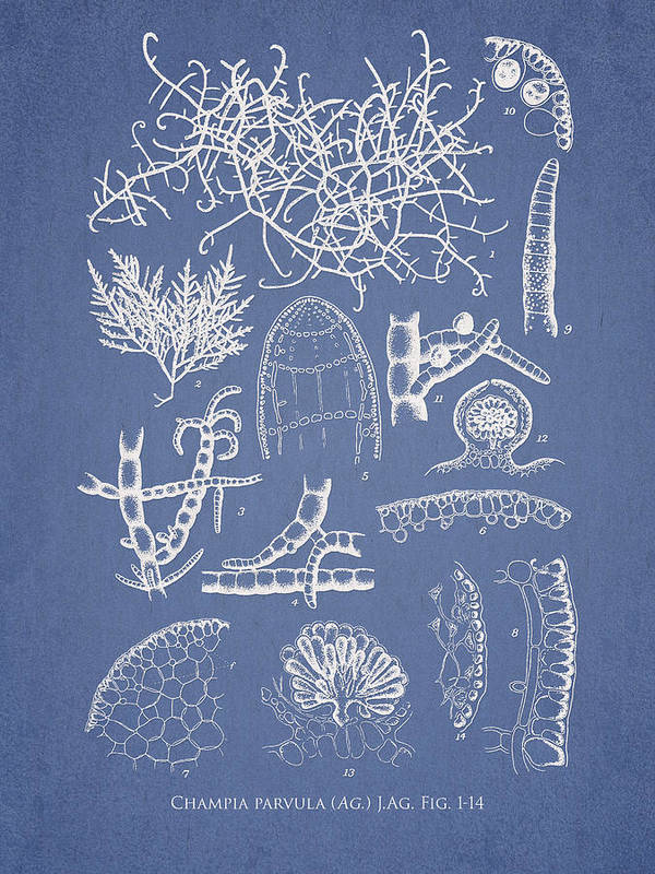 Algae Poster featuring the drawing Champia Parvula by Aged Pixel