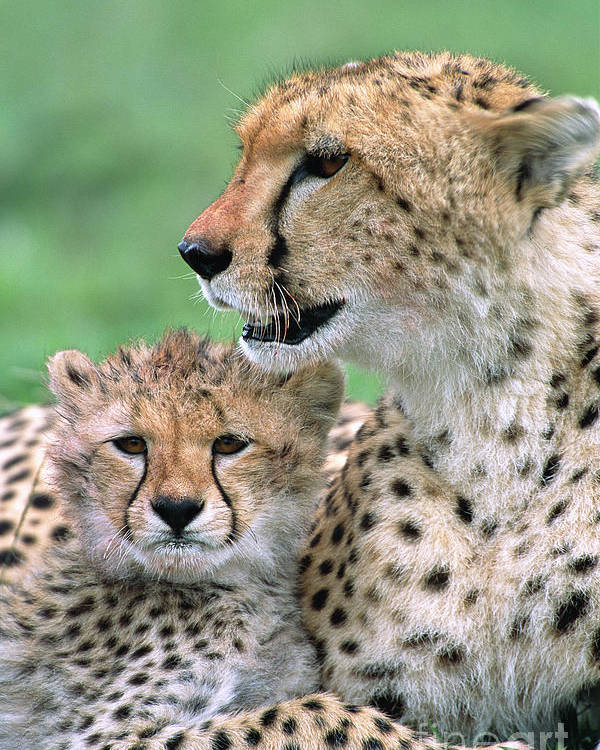 00345036 Poster featuring the photograph Cheetah Mother And Cub by Yva Momatiuk John Eastcott