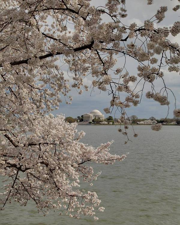 America Poster featuring the photograph Cherry Blossoms With Jefferson Memorial - Washington Dc - 011320 by DC Photographer