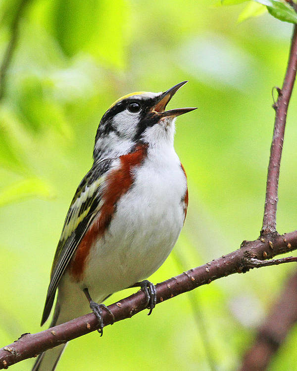Chestnut-sided Warbler Poster featuring the photograph Chestnut-sided Warbler by Jaron Wood