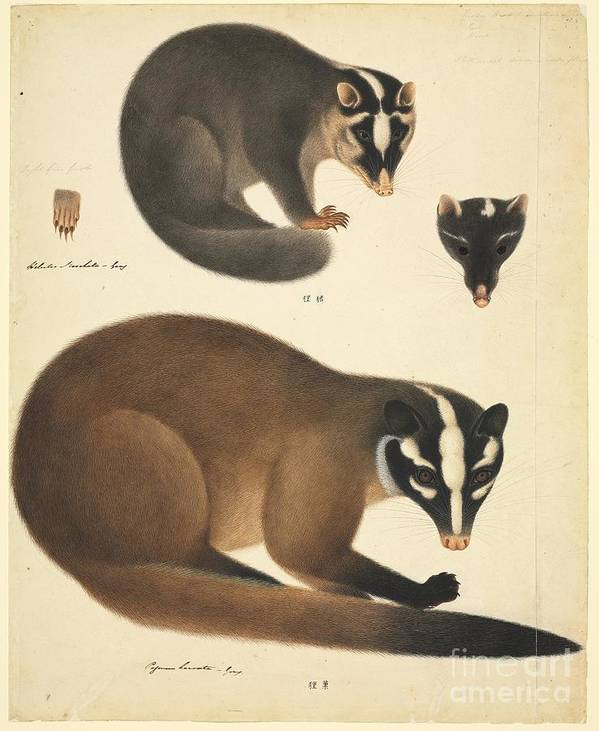 Chinese Ferret Badger, 19th Century Poster by Natural History Museum ...