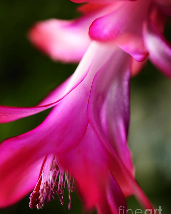 Christmas Cactus Poster featuring the photograph Christmas Cactus In Bloom by Thomas R Fletcher