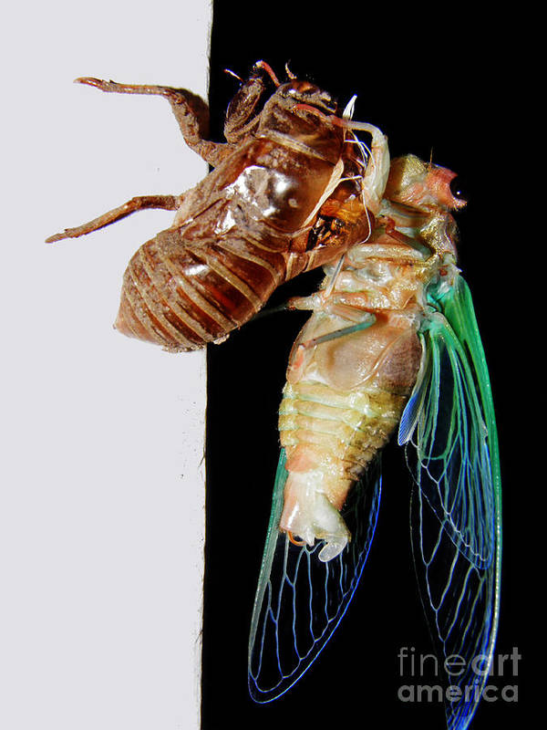 Bug Poster featuring the photograph Cicada by Emily Kelley
