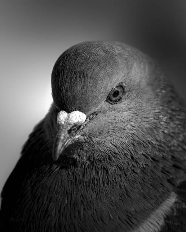 Pigeon Poster featuring the photograph City Bird Gang Leader by Bob Orsillo