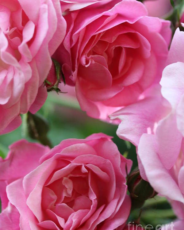 Roses Poster featuring the photograph Cluster Of Pink by Christiane Schulze Art And Photography