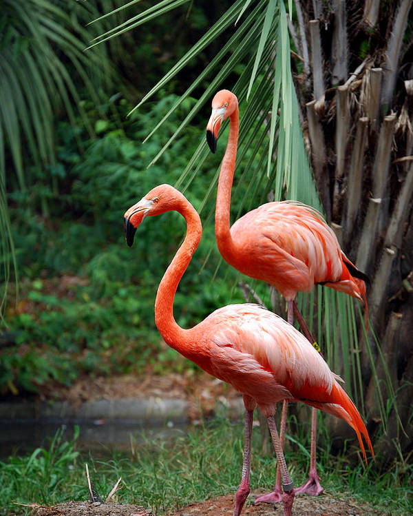 Flamingo Poster featuring the photograph Code Pink by Skip Willits