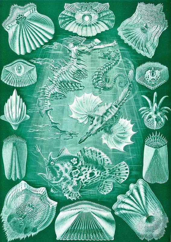 Taxonomy Poster featuring the drawing Collection Of Teleostei by Ernst Haeckel