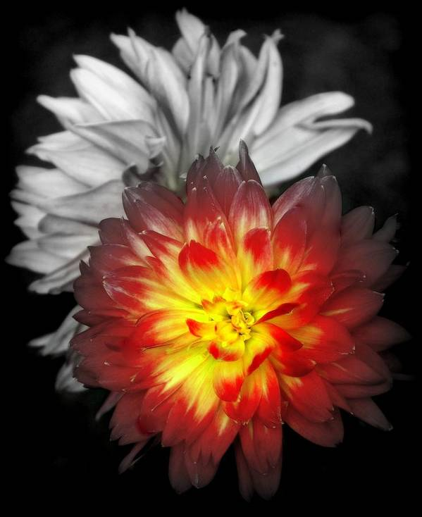 Dahlias Poster featuring the photograph Color Of Life by Karen Wiles