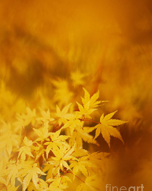 Yellow Poster featuring the photograph Colorful Maple by Andrea Gingerich