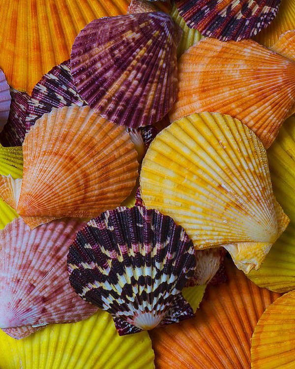 Colorful Shell Poster featuring the photograph Colorful Shells by Garry Gay