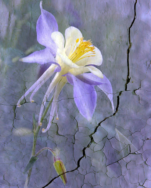 Wall Photography. Poster featuring the photograph Columbine On Cracked Wall by James Steele