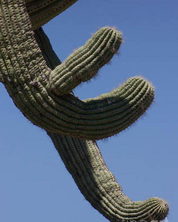 Saguaro Poster featuring the photograph Come Hither by Kathy McClure