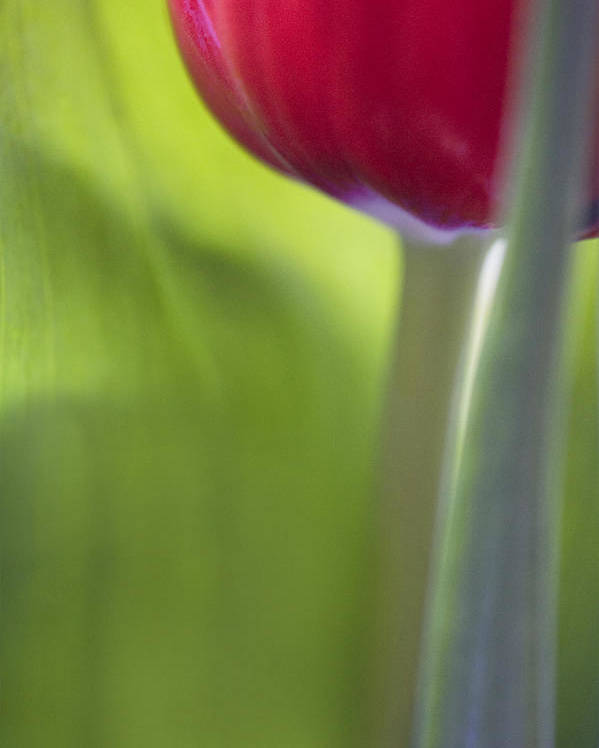 Tulip Poster featuring the photograph Contemporary Tulip Close Up by Natalie Kinnear
