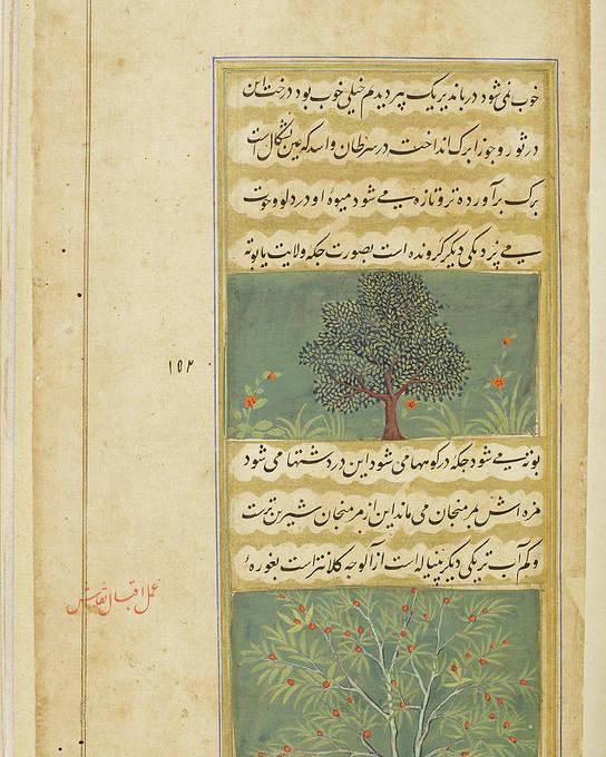India Poster featuring the photograph Corinda Tree (carissa Carandas) by British Library