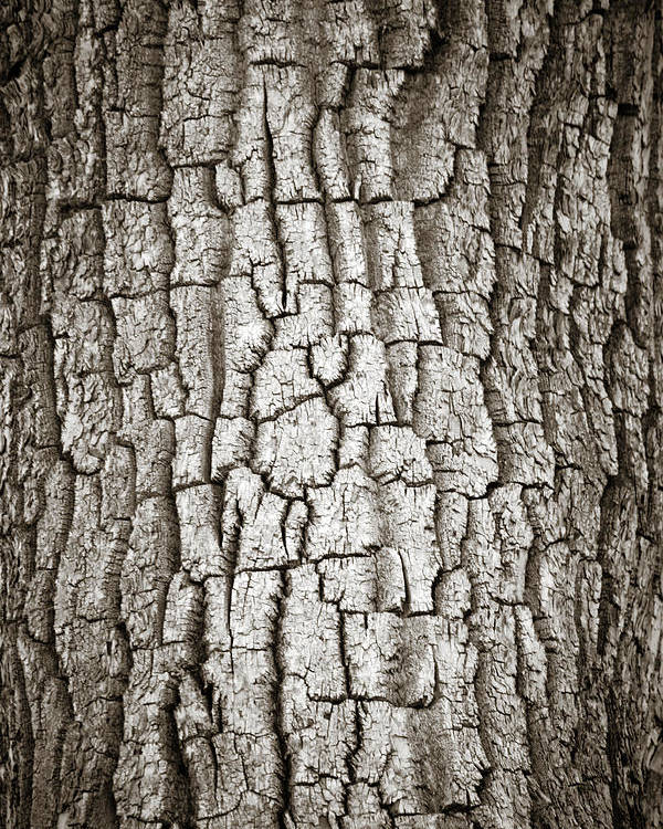 Cottonwood Poster featuring the photograph Cottonwood Bark 1 by Marilyn Hunt