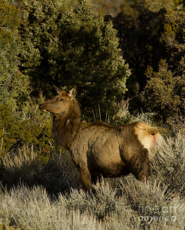 Elk Poster featuring the photograph Cow Elk  #7582 by J L Woody Wooden