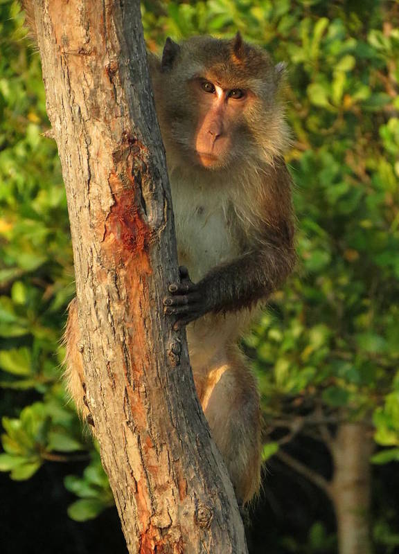 Monkey Poster featuring the photograph Crab Eating Macaque by Ramona Johnston