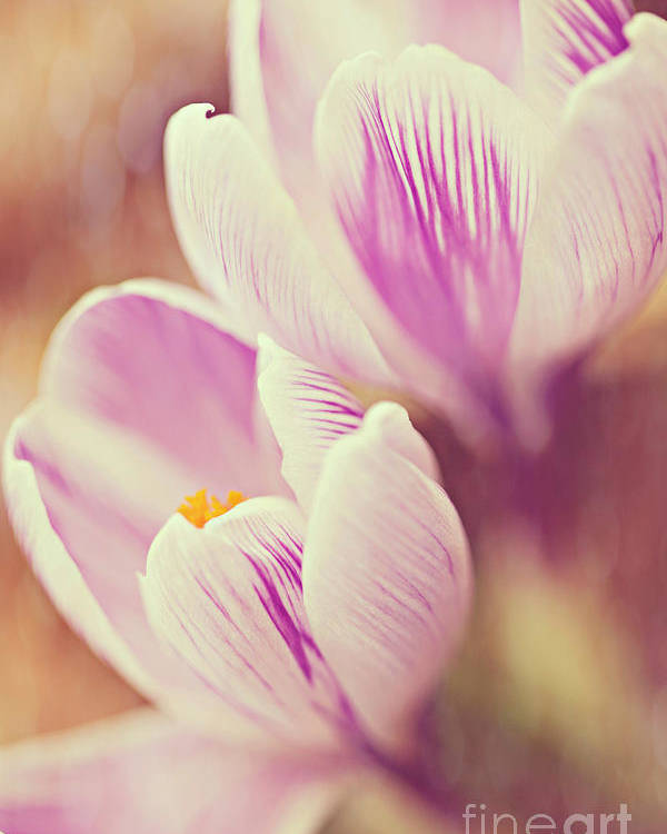 Crocus Poster featuring the photograph Crocus by Kim Fearheiley