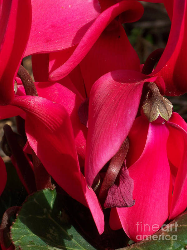 Flowers Poster featuring the photograph Cyclamen by Kathy McClure