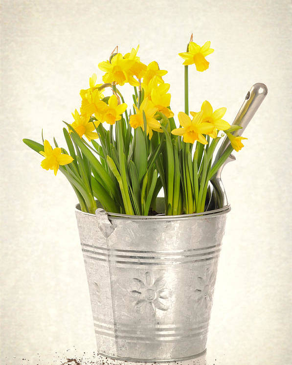Spring Poster featuring the photograph Daffodils by Amanda Elwell