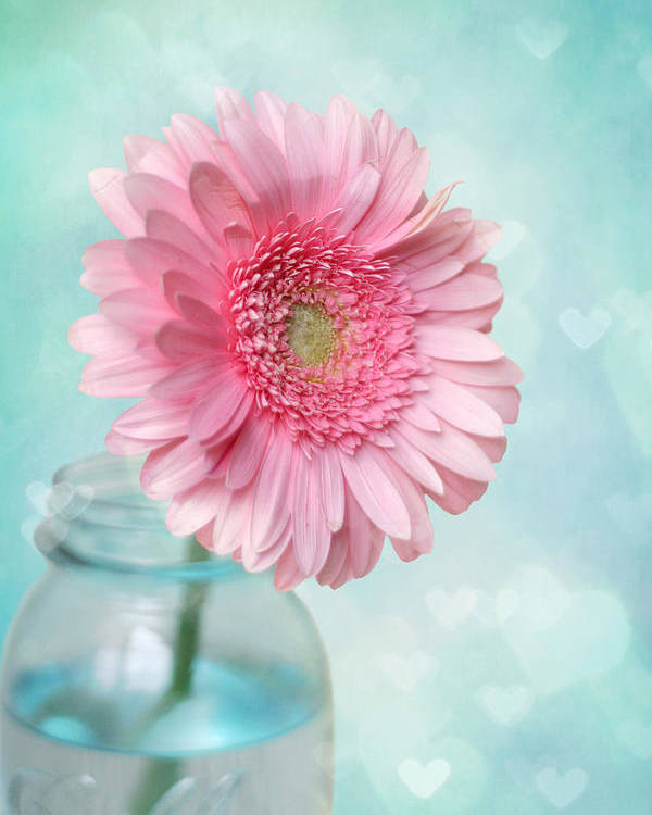 Pink Daisy Photography Poster featuring the photograph Daisy Love by Amy Tyler
