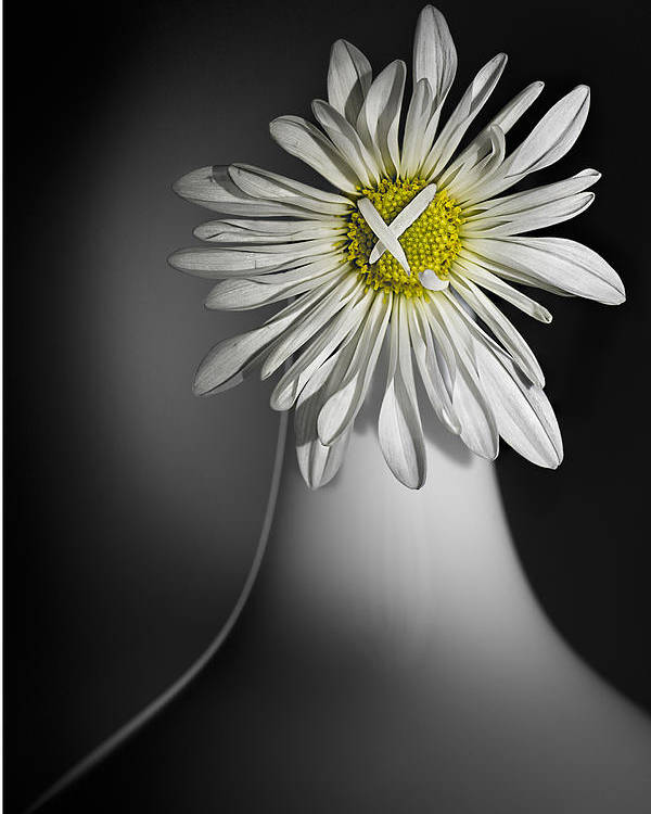Flower Poster featuring the photograph Daisy Pom by Nancy Strahinic