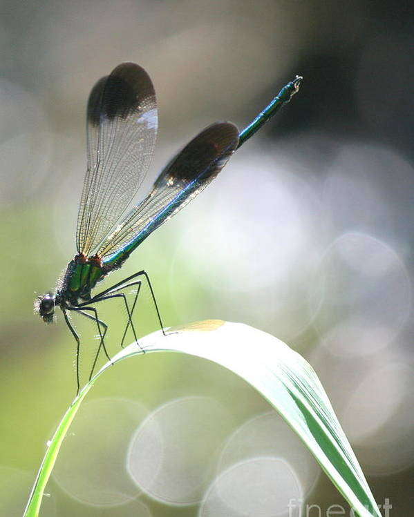Damselfly Poster featuring the photograph Damselfly On Little River by Neal Eslinger