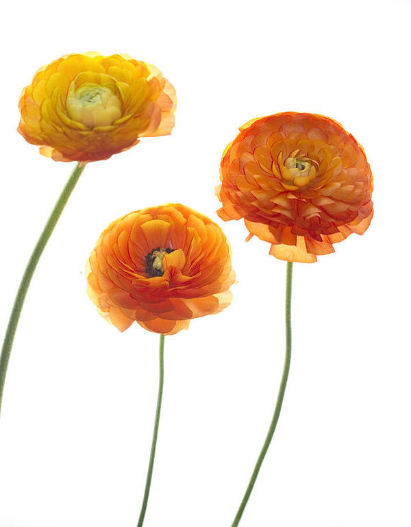 Ranunculus Poster featuring the photograph Dancers by Rebecca Cozart