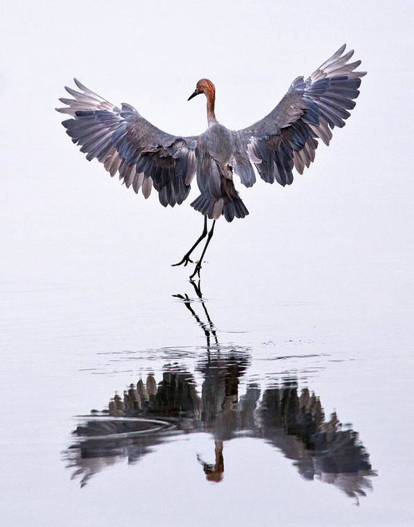 Reddish Egret Poster featuring the photograph Dancing On Water by Robert Jensen