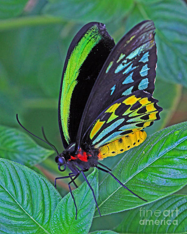 Butterfly Poster featuring the photograph Day-glo Butterfly by Larry Nieland