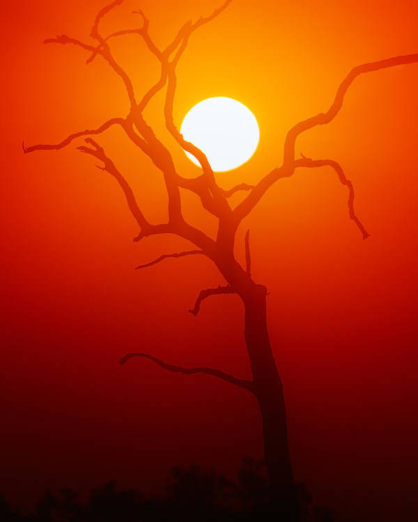 Tree Poster featuring the photograph Dead Tree Silhouette And Glowing Sun by Johan Swanepoel
