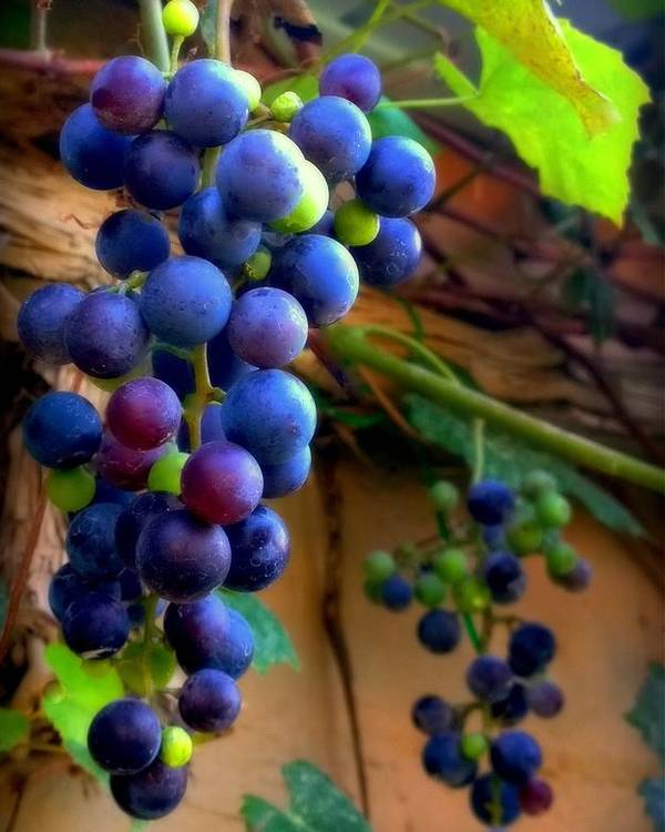 Grapevine Poster featuring the photograph Divine Perfection by Karen Wiles