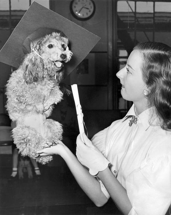 1952 Poster featuring the photograph Dog Graduates From School by Underwood Archives