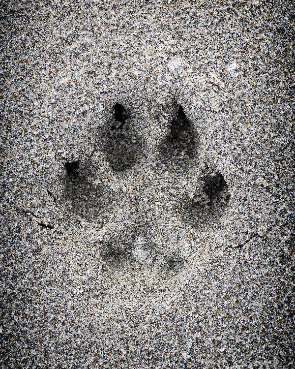 Print Poster featuring the photograph Dog Paw Print In Sand by Elena Elisseeva