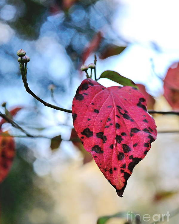 Dogwood Poster featuring the photograph Dogwood Leaf - Red Leaf Falling With Watching Buds by Wayne Nielsen
