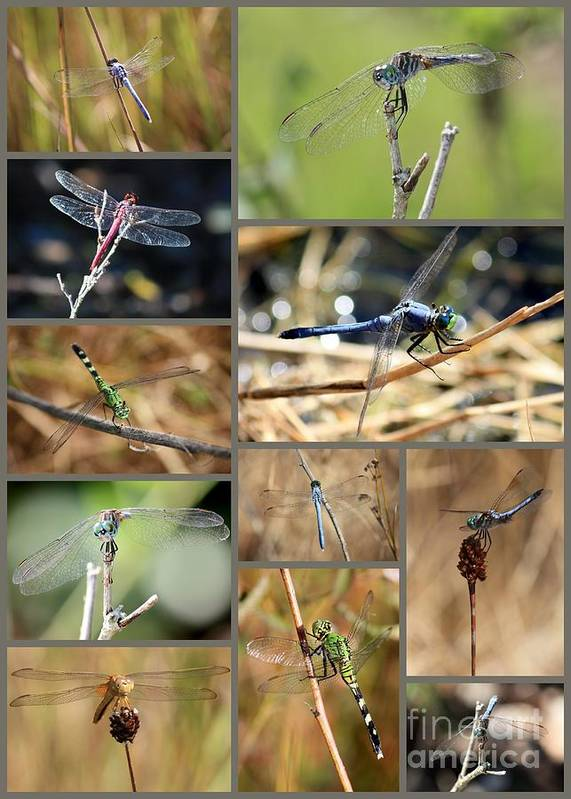 Dragonflies Poster featuring the photograph Dragonfly Collage by Carol Groenen