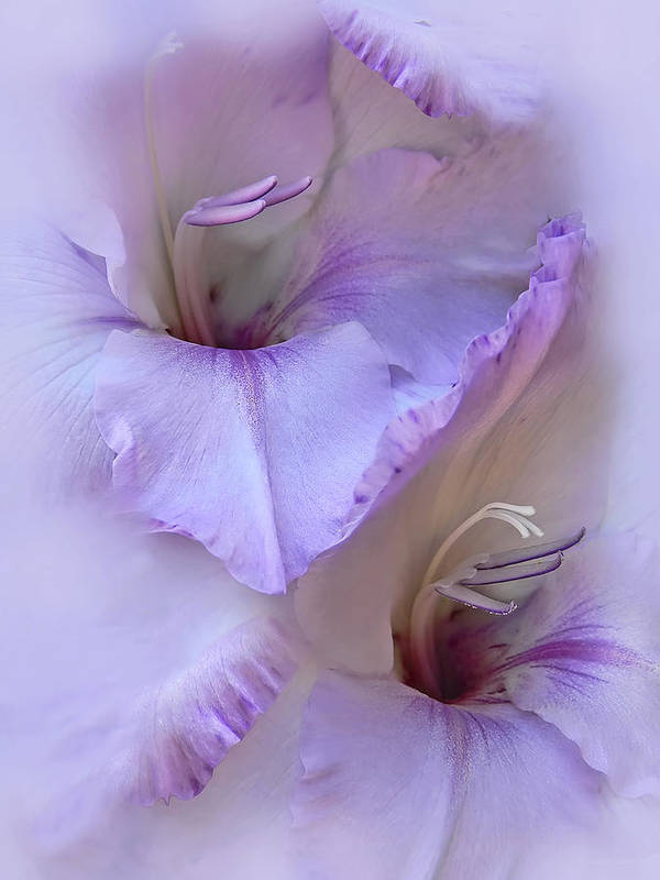 Gladiola Poster featuring the photograph Dreams Of Purple Gladiola Flowers by Jennie Marie Schell