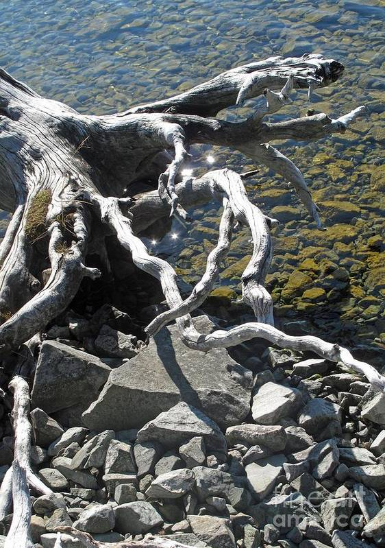 Driftwood Poster featuring the photograph Driftwood by Louise Peardon