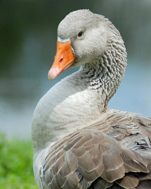 Birds Poster featuring the photograph Duck Pose by Diane Bell