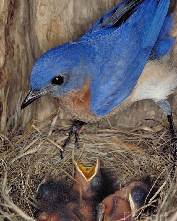 Eastern Bluebird Poster featuring the photograph Eastern Bluebird Feeding Its Young by Millard H. Sharp