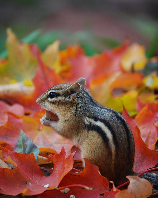 Eastern Chipmunk Poster featuring the photograph Eastern Chipmunk by Coral Wood
