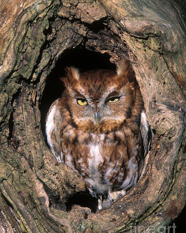 Red Poster featuring the photograph Eastern Screech Owl - Fs000810 by Daniel Dempster